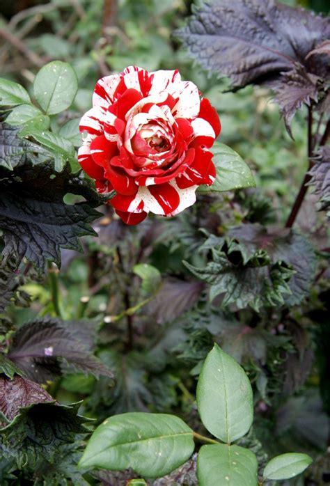 rosier tige en pot 28 images 25 best ideas about rosier en pot sur arbuste 224 fleurs