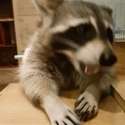 Raccoon Portraits Pet Nom Num Pridesquishy Credit