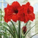 Amaryllis Zwiebeln Kaufen : amaryllis red for sale buy online for only ~ Frokenaadalensverden.com Haus und Dekorationen