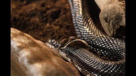 Shedding Snake by The Shedding Black Rat Snake