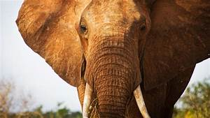 Ivory trade: Why elephant poaching is still rampant ...