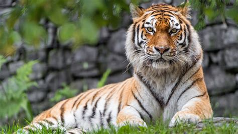 Animal Zoo Wallpaper - zoo tiger wallpapers hd wallpapers id 21100