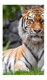 Zoo Tiger Wallpapers   HD Wallpapers   ID #21100