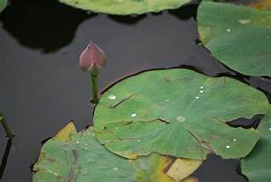 Water Drops On Lily Pad Free Stock Photo - Public Domain ...