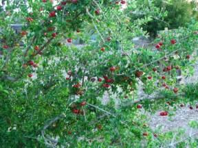 Florida Sweet Cherry Tree