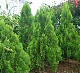 teras alam jual pohon cemara harga pohon cemara bonsai