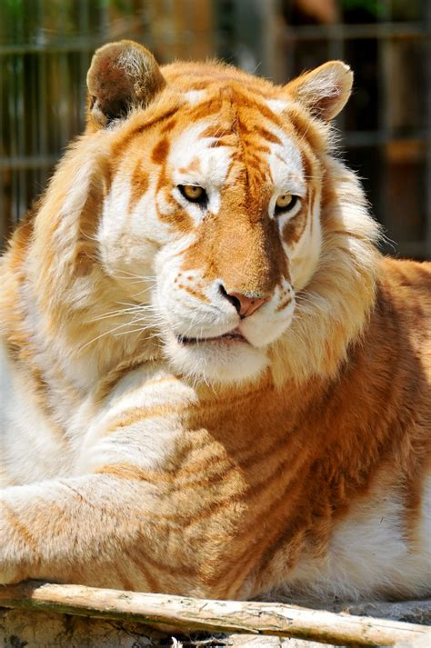 Lying Golden Tiger The Male Was