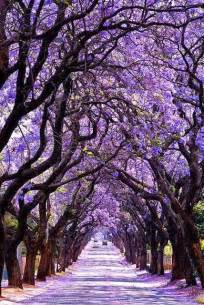 jacaranda tree tunnel sydney australia we saw these in kenya and they are just as beautiful