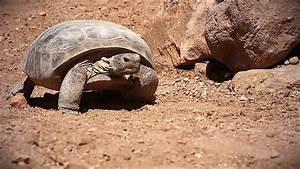 Endangered Bolson Tortoise Gopherus Flavomarginatus