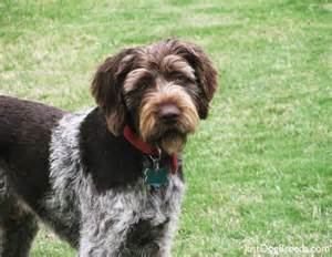 Wirehaired Pointing Griffon Non Shedding by Large Wirehaired Dog Breeds Dog Breeds Picture