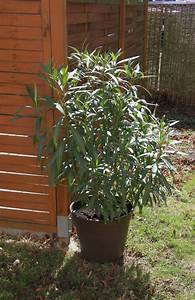 Oleander Düngen Mit Blaukorn : es gibt viel zu tun majas pflanzenblog ~ Lizthompson.info Haus und Dekorationen