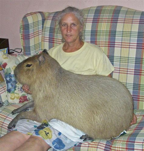 capybara pet capybara facts diet habitat lifespan as pets pictures