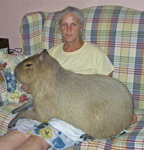Capybara Facts, Diet, Habitat, Lifespan, as Pets, Pictures