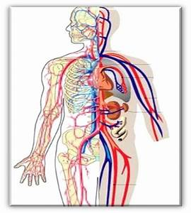 Circulatory System Diagram Without Labels Fresh System