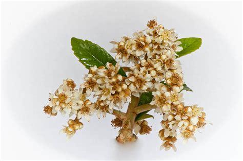 fiori di nespolo fiori nespolo giappone juzaphoto