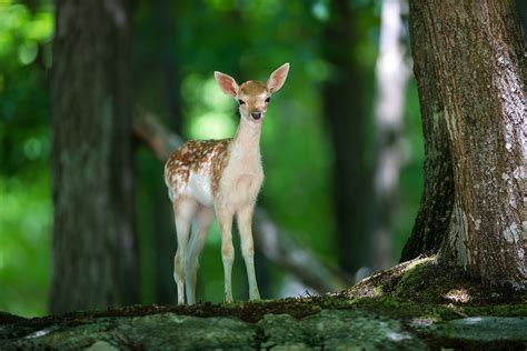 Forest With Animals Wallpaper - wallpaper deer animals forest animals 4575