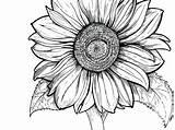 Sunflower Drawing Coloring Printable Line Pages Clipartmag sketch template