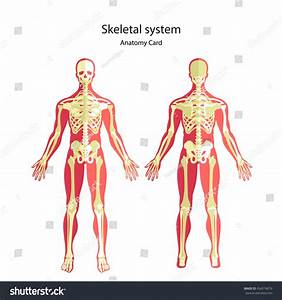 Anatomy Guide Human Skeleton Didactic Board Stock Vector