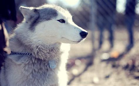 siberian husky dog temperament training pictures