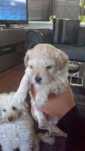 chi-poo puppies just 1 left reduced to 350 | Blackpool ...