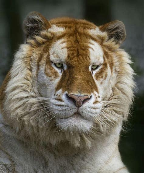 Golden Tiger Photography Alida Jorissen