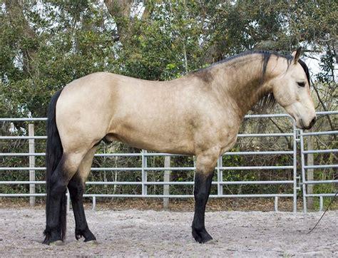 horse friesian quarter cross buckskin horses qh appaloosa pretty dun parts palomino mix arabian breed stallion fjord he deirdre got