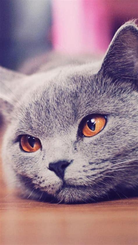 Cat Backgrounds Iphone by Cat Iphone Wallpapers Pixelstalk Net