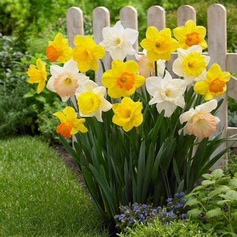 longfield gardens narcissus mix trumpets bulbs 100 pack