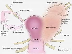 Uterosacral Ligament - ma