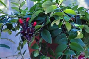 Lipstick Plant