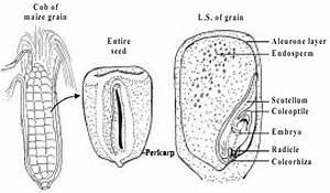 Describe The Structure Of Maize Grain  Toppr Com