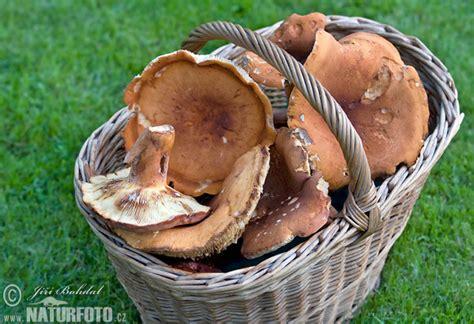 Lactarius volemus Pictures, Weeping Milkcap Images, Nature ...