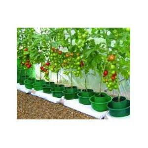 how to grow tomatoes in a grow bag growing tomatoes in grow bags