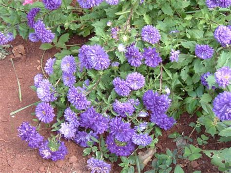 Callistephus Chinensis Flower Seeds China Aster