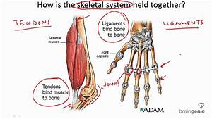 8 3 4 Tendons And Ligaments