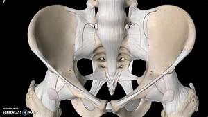 Pelvis Anatomy Tutorial  Ligaments