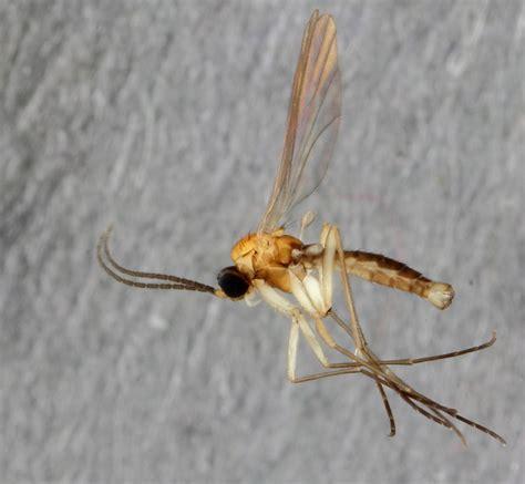 Backyard Fly by Surprising Flies In The Backyard New Gnat Species