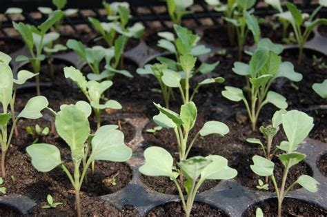 starting seedlings starting seeds indoors tips and tricks the old farmer s almanac