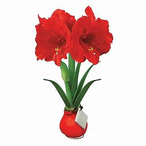 Shop 6-in Amaryllis Bulbs at Lowes com