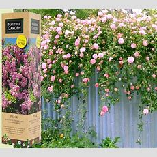 Spring Growing Pink Fragrant Climbing Rose Flower Bare
