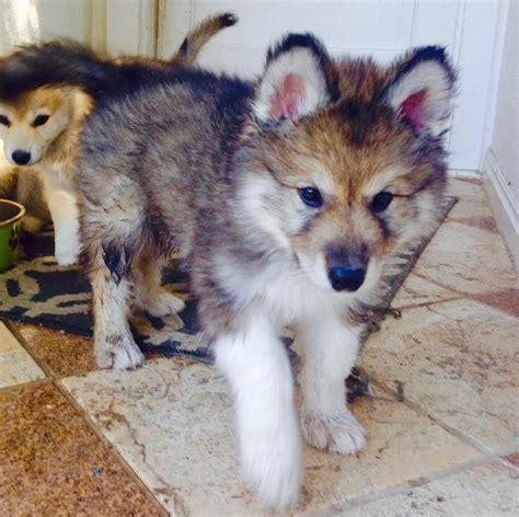 Wolfmoon Pups6 Colorado Wolf Hybrid Pups
