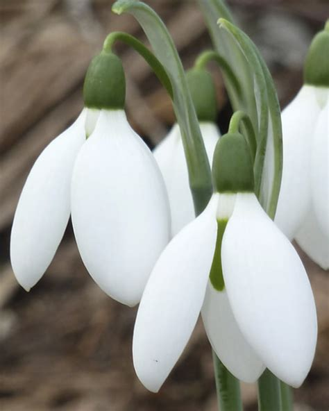 galanthus elwesii xl pack for sale buy for 163 17 99