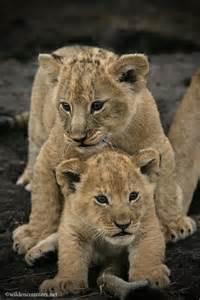 Lion Cub Standing