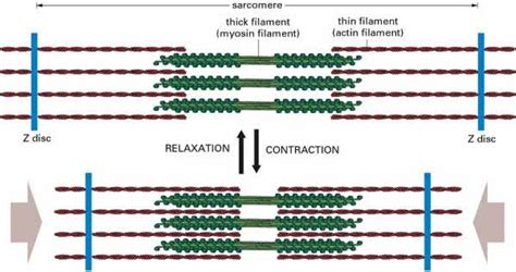 The Sliding Filament Theory Of Muscle Contraction  The A. Anesthesia Technician Schools. Wisconsin Online Courses Mercedes E550 4matic. Free Quickbooks Training Videos. Non Profit Management Leadership. Business Invitation Cards Templates. Transmission Repair Savannah Ga. Va Loan For Rental Property Unix Ftp Example. Texas Workers Comp Lawyer State Rehab Centers