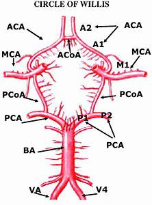 Circle Of Willis Labeled For Tcd