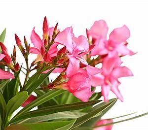 Oleander Winterhart Kaufen : oleander solit rstamm dehner garten center ~ Eleganceandgraceweddings.com Haus und Dekorationen