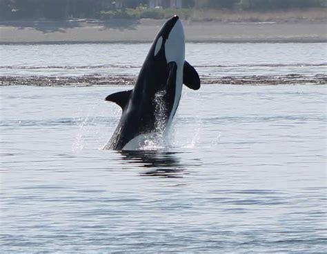 whales wildlife report august   san juan