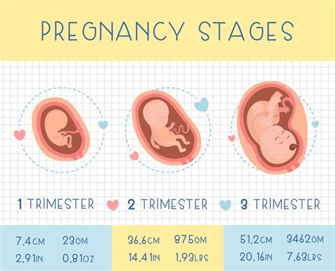stages of pregnancy pregnancy trimesters mamaz