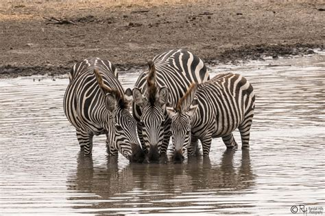 Zebra Family Time At The Watering Hole