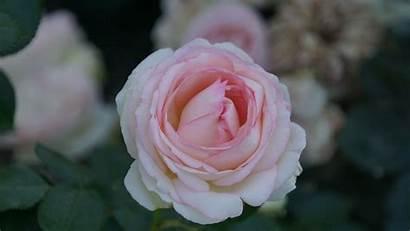 Flower Rose Bloom